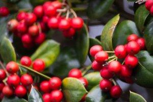 Kopi Luwak Herstellung Kaffeekirsche
